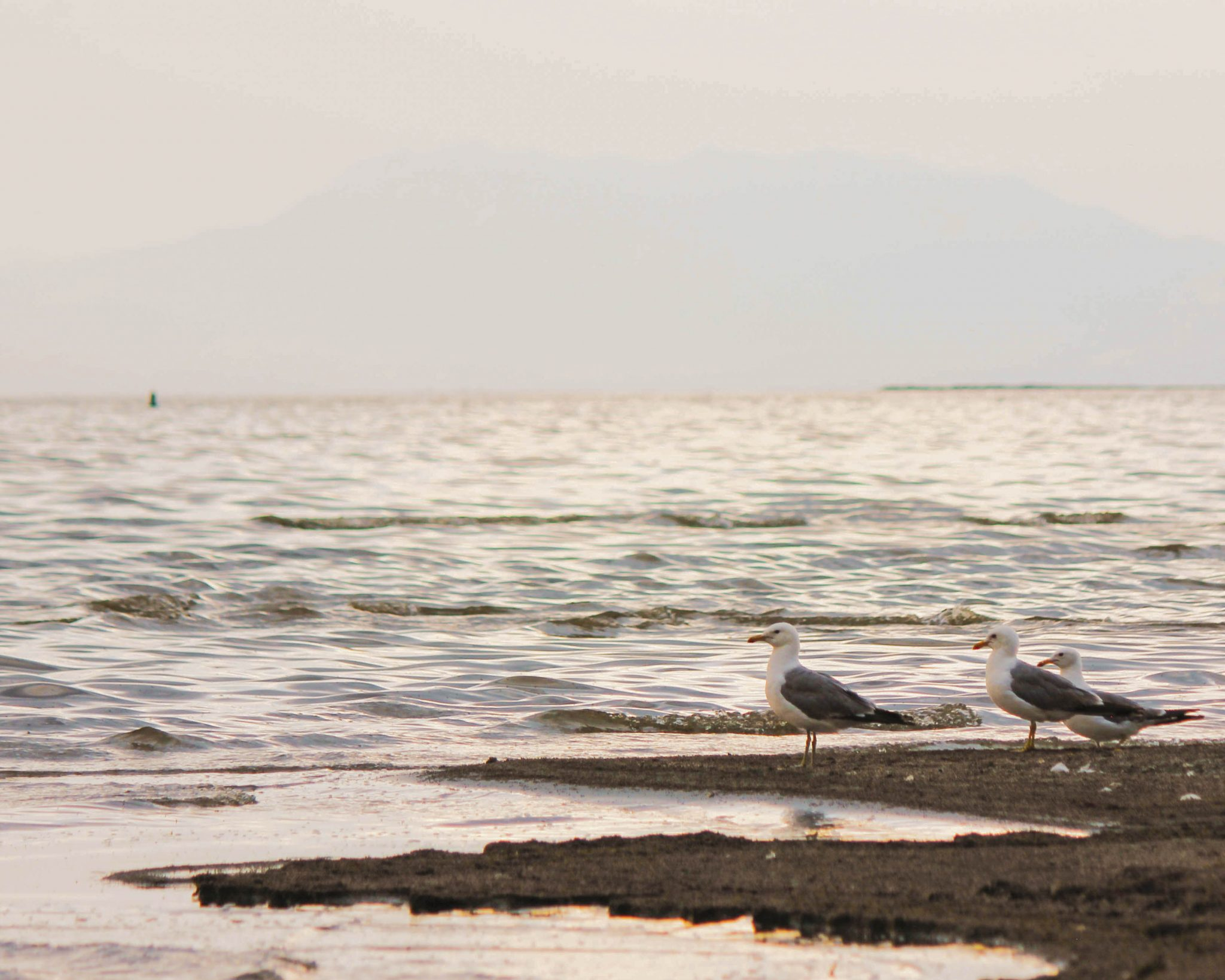 Three seagulls stand on the beach with the great salt lake in the distance