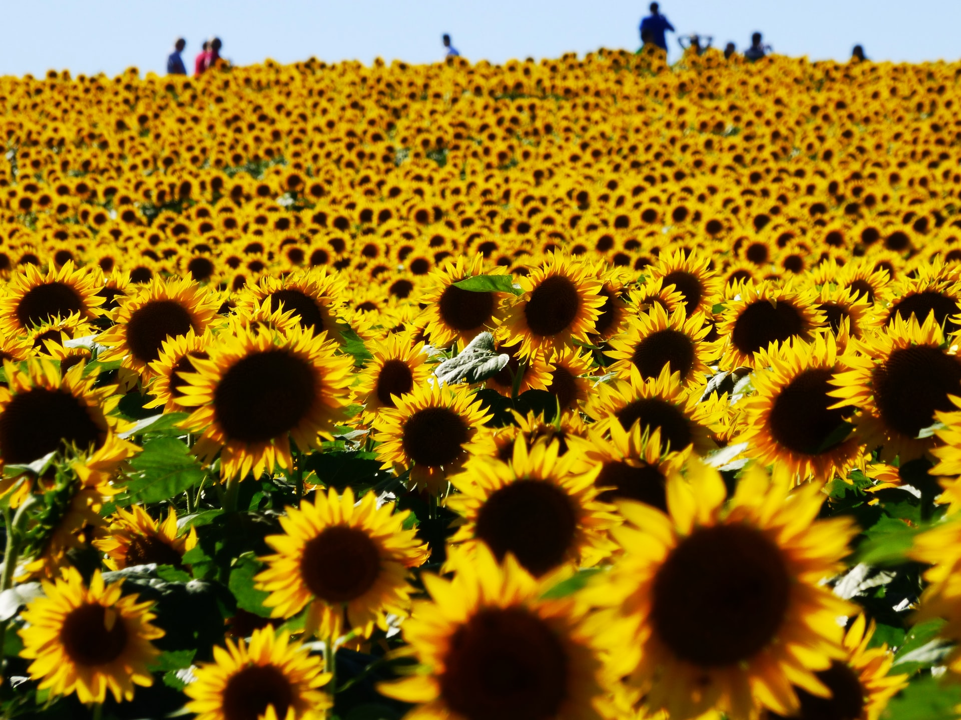 sunflowers in kansas on a road trip in the usa